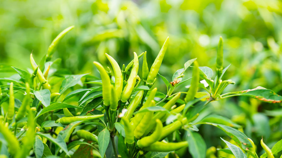 Green chili Growth Green Color Plant Plant Part Beauty In Nature Leaf Close-up Nature No People Day Selective Focus Field Freshness Outdoors Food Plantation Agriculture Chili  Green Chili Pepper Garden Growing Organic Spicy