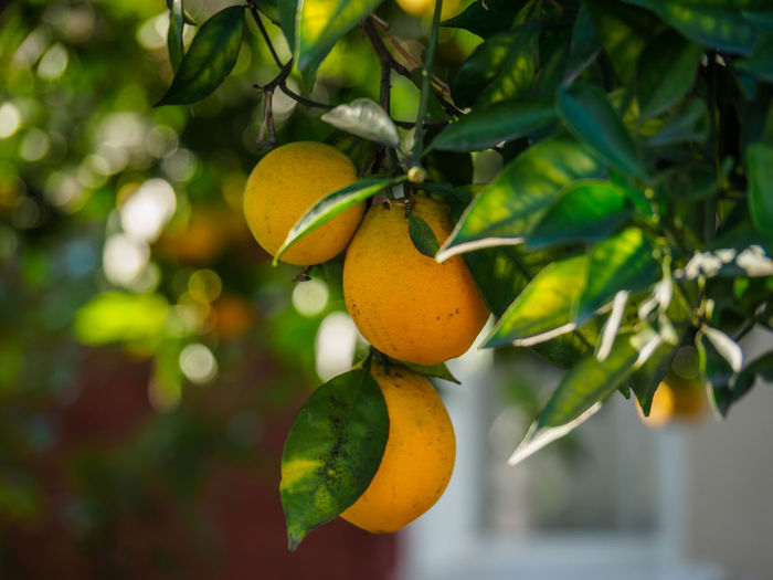 Close up of lemons hanging in the tree with low depth of field Paint The Town Yellow Beauty In Nature Branch Citrus Fruit Close-up Day Focus On Foreground Food Food And Drink Freshness Fruit Green Color Growth Hanging Healthy Eating Leaf Low Angle View Nature No People Orange Tree Outdoors Tree