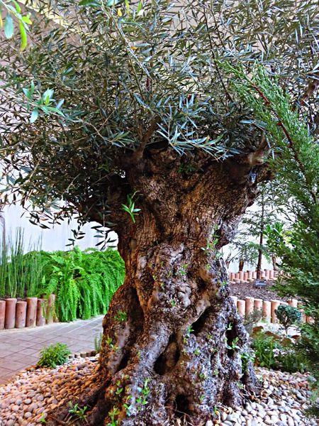 Oleaeuropaea Olive Olives Tree Trees Botanical Gardens Botanical 植物園 世界7大陸植物園 オリーブ