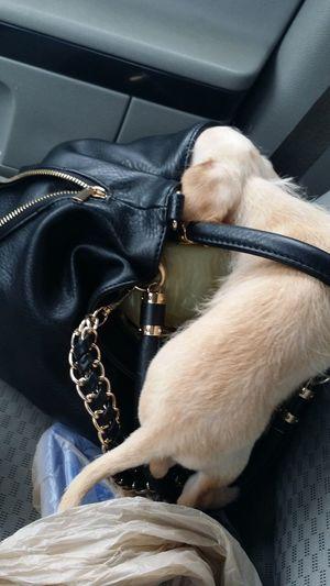 Duece Chilling Chihuahua Cuteeee♥♡♥