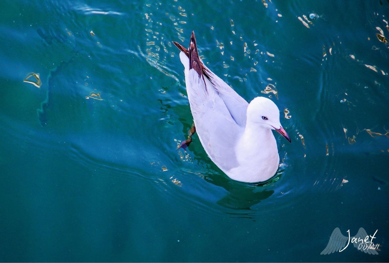HIGH ANGLE VIEW OF SEAGULL SWIMMING