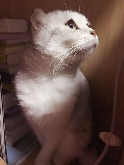 Fold Cat PetOne Animal Cat Animal Themes First Eyeem Photo