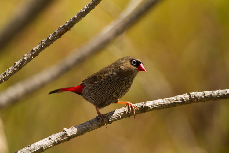 Animal Themes Animal Wildlife Animals In The Wild Beautiful Firetail Beauty In Nature Bird Bird Photography Close-up Emblema Bellum Firetail Nature Nature Photography No People One Animal Perching Rare Bird Wildlife & Nature Wildlife Photography