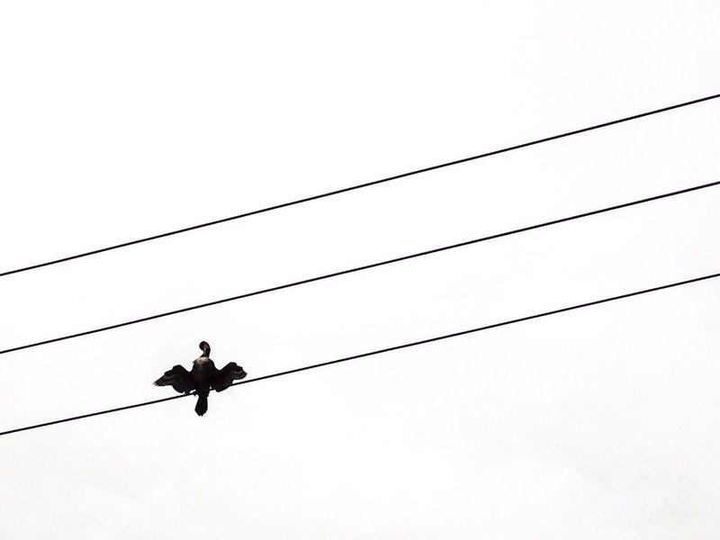 Cormorant  Electric Wires Claudy