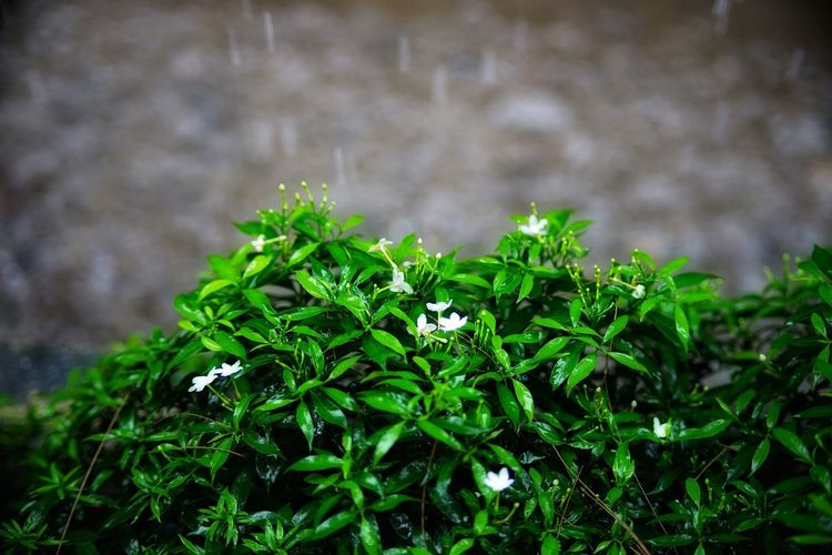 Rain RainDrop Wet Rainy Season Day No People No Person Flower Close-up Plant Green Color Flowering Plant Plant Part Leaf Vein Flower Head Leaf Leaves Blooming Plant Life In Bloom