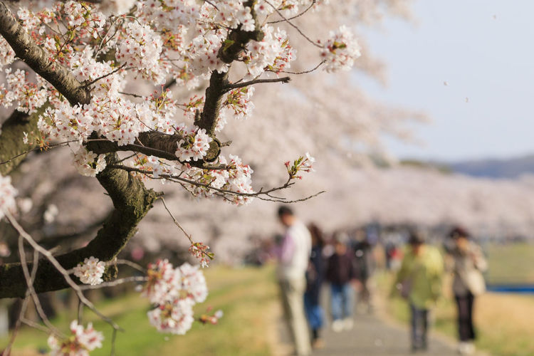 Cherry blossom flowers on tree with people in background
