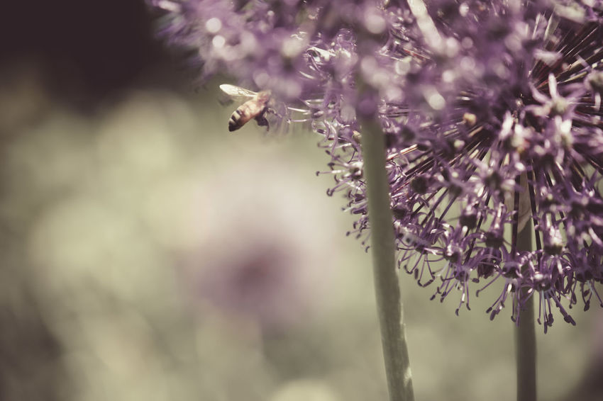 Beauty In Nature Bee Bee In Flight Flower Balls Flowers Flying Bee Insect Nature Photography In Motion Purple Flowers Perennials Tall Flowers