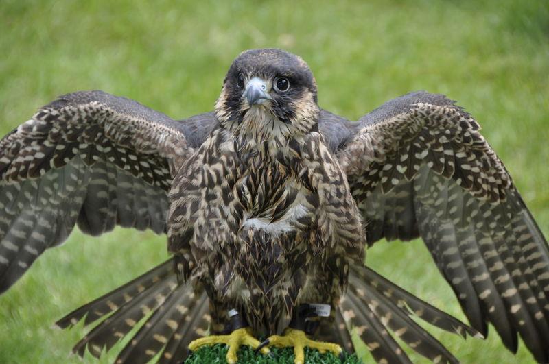 Close-up portrait of peregrine falcon