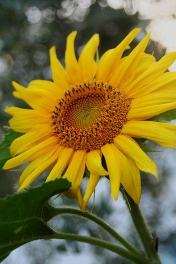 Girasol 🌻. Beauty Love EyeEm Taking Photos Photo Hello World Popular Photos Flower Girasol Happy Yellow Flower Yellow Color