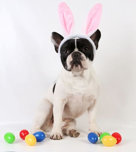 Portrait of dog with colorful easter eggs on white background