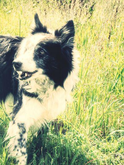 30 marzo 2014 leo alla palmaria . dedicata a mio padre . sarebbe stato felice . Walking Around Border Collie Love ♥ Dogs