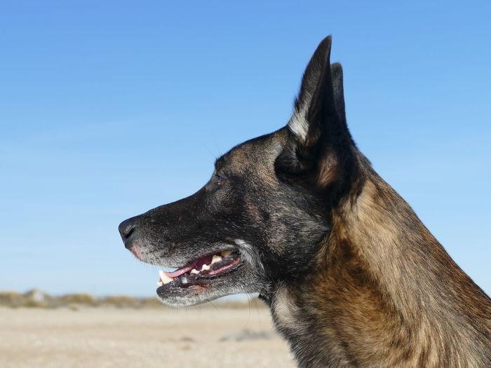 Portrait of a malinois dog on the beach