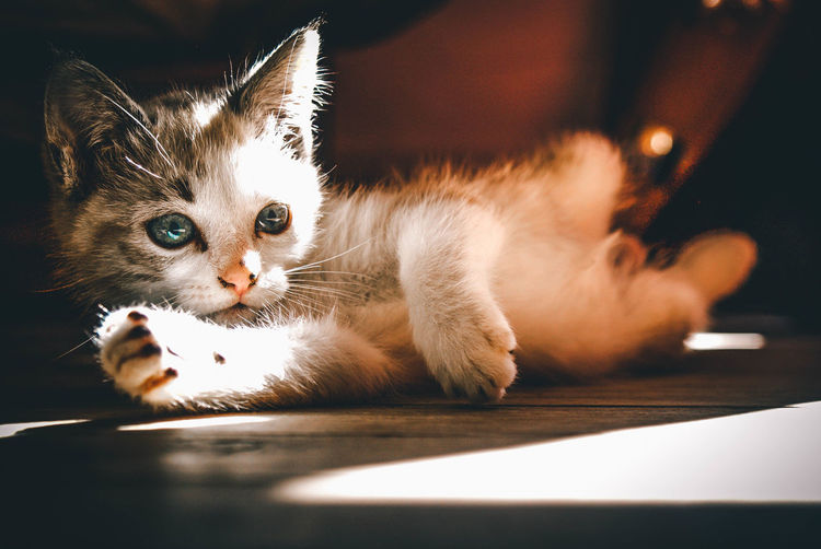Domestic Cat Cat Domestic Pets Feline Animal Animal Themes Domestic Animals Mammal One Animal Vertebrate Indoors  No People Whisker Looking At Camera Portrait Close-up Relaxation Home Interior Kitten Animal Eye Puppy
