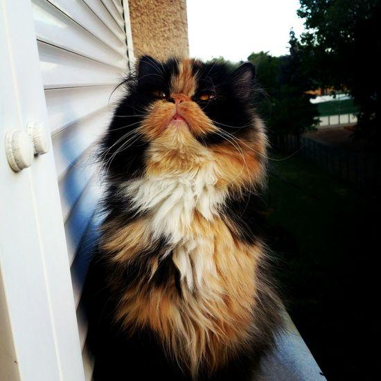 Cat Cat♡ Animal Persiancat Cute