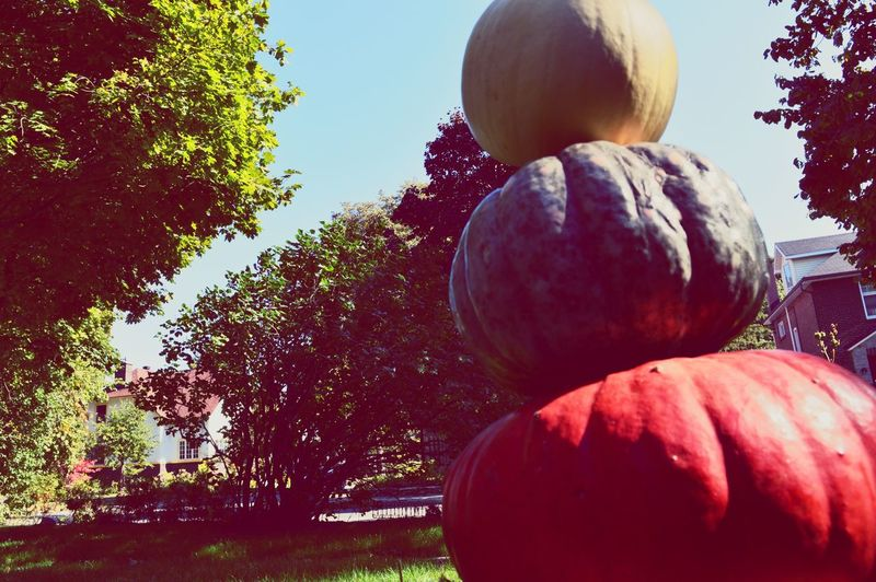 Halloween pumpkin man Halloween Pumpkin Colorful Pumpkin Man Healthy Eating Fruit Food And Drink Freshness Food Growth Tree Sunlight Nature Outdoors No People Close-up Day Holiday Fall Collection Decoration Lawn Group Of Objects Pumpkins