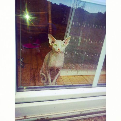 Oooj Džamijo , ovo jede malu djecu :'o Sphynxc Cat Svinga mačka vanzemaljac fiiina skroz