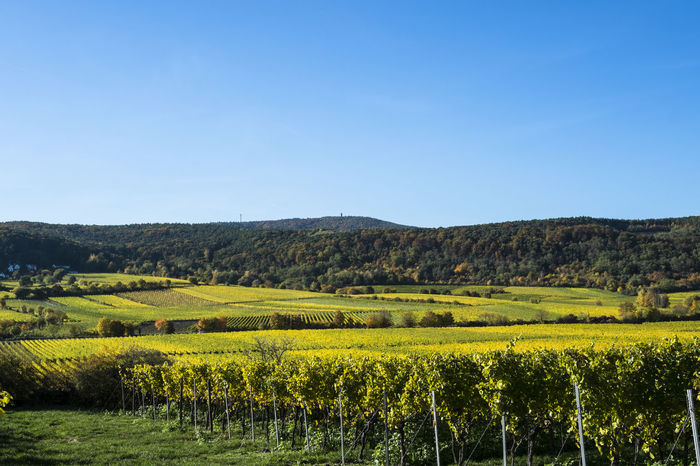 Agriculture Autumn Bad Dürkheim Beauty In Nature Blue Clear Sky Day Flower Growth Idyllic Landscape Mountain Nature No People Outdoors Palatinate Pfalz Riesling Scenics Sky Tranquil Scene Tranquility Travel Destinations Vineyard Yellow
