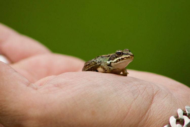 Babyfrog Stockach EyeEm Best Shots Babyfrog Frog Human Hand Human Body Part One Animal Hand Animal Wildlife Vertebrate One Person Finger Animals In The Wild Body Part Human Finger Reptile Close-up Lizard Real People Holding Pets Small Care