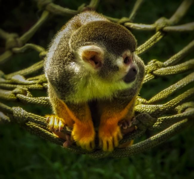 Squirrel monkey One Animal Animals In The Wild Animal Themes Close-up Portrait No People Animal Wildlife Creative Light And Shadow The World Through My Eyes Fujifilm Wildlife Photography Nature Photograhy Nature Squirrel Monkey Monkey Forest Monkeys Sitting