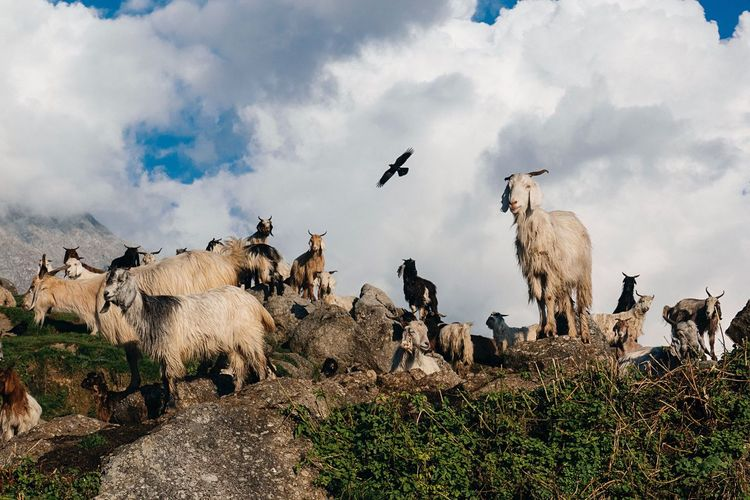 Goats against sky