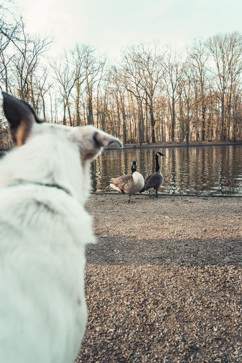 White dog watching two geese at a pond in Cologne, Germany Animal Themes Animal Vertebrate Bird Animals In The Wild Group Of Animals Animal Wildlife Nature Day Tree Duck Winter Water Outdoors Poultry Sky Bare Tree Medium Group Of Animals Lake Dog Geese Watch Lurking Hunting
