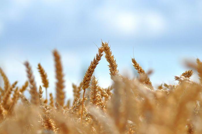 BLE Champ Campagne Wheat Field Wheat Wheatgrass Chaleur Sunshine Dore Nature Photography