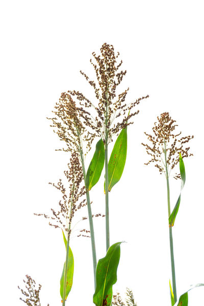 Beauty In Nature Clear Sky Close-up Day Flora Flower Freshness Green Color Growth Leaf Nature No People Outdoors Plant Sorghum Sorghum Bicolor Stem White Background