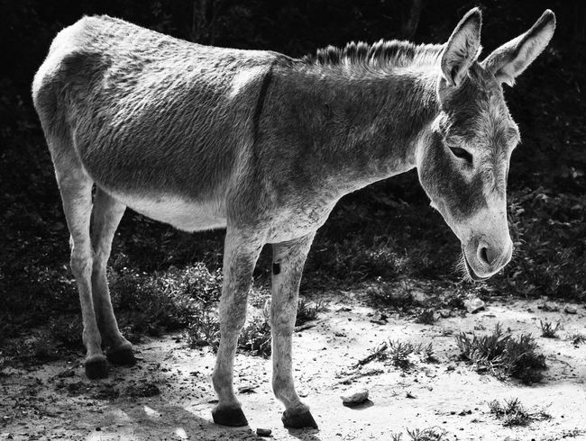 the sleepy donkey~ Animal Animal Themes Close-up Curiosity Domestic Animals Donkies Mammal One Animal Relaxing Zoology
