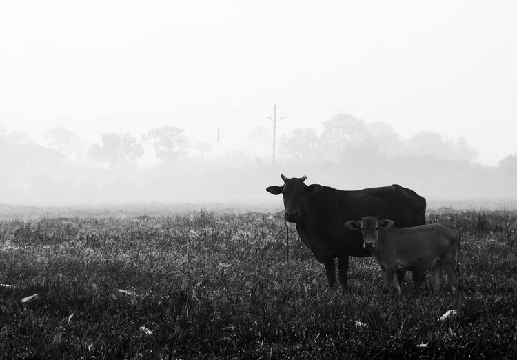 cows with mist Animal Animal Themes Animal Wildlife Cattle Day Domestic Domestic Animals Environment Field Grass Herbivorous Land Landscape Livestock Mammal Nature No People One Animal Outdoors Pets Plant Sky Vertebrate