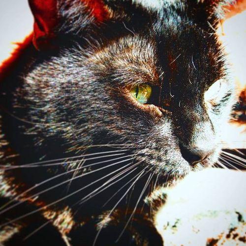Mao Mao Miao Venom Wenom Velenoso Cat Luv Gatto Negretto Eyes