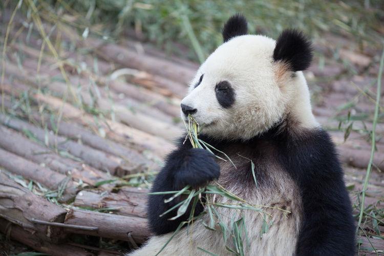 Cute panda eating plant in zoo