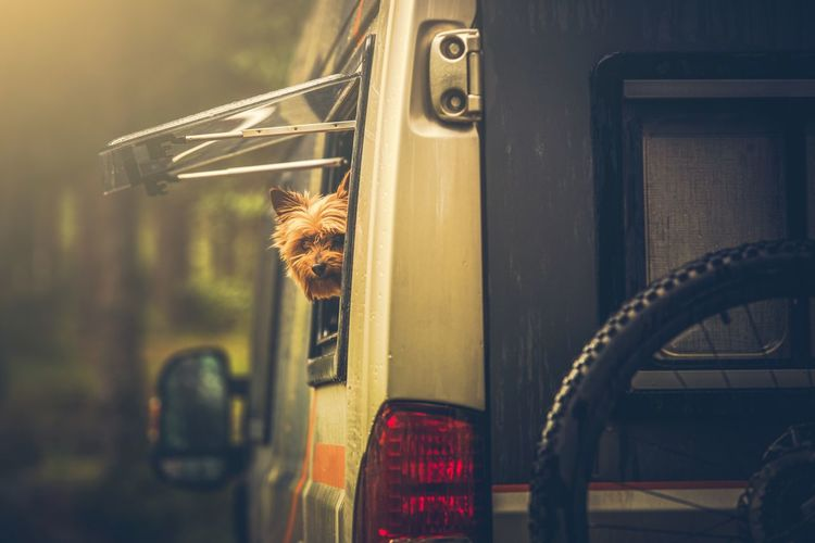 Portrait Of Dog Looking Through Vehicle Window