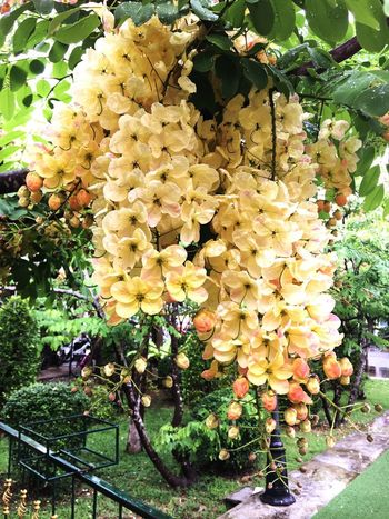 Rainbow shower tree Cassia Tree Nature Rainbow Beauty In Nature Pink Yellow Flower Outdoors Flowers Asian  Thailand Plant Blossom Green Tree Summer Shower Rainbows