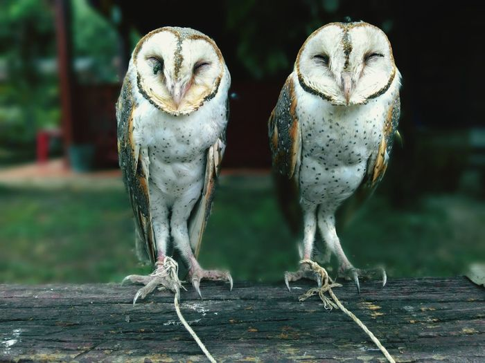 Portrait of two owls perching on a log
