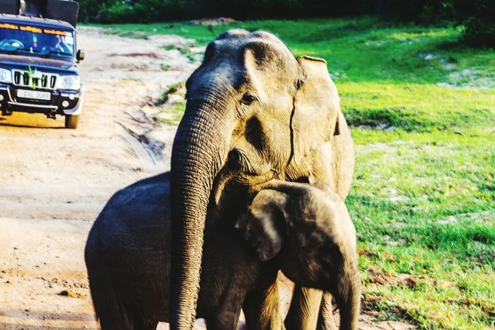 Animal Themes Animals In The Wild Day Outdoors Mother Elephant 🐘 Protecting Babies Protection Of Mother Baby Elephant Wildlife & Nature Protect Elephants Yala National Park Sri Lanka