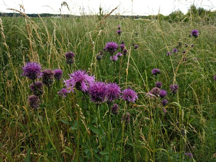 Flower Growth Purple Nature No People Field Plant Grass Beauty In Nature Outdoors Day Fragility Thistle Freshness Flower Head Sky Thistles Freshness Flower Head Sky Beauty In Nature Summer