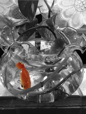 GoldFish! Monochrome