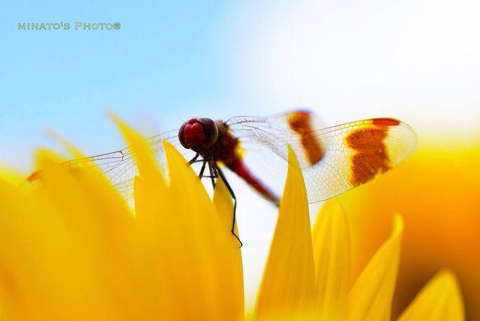 そんなに見つめないで(^_^;) Summer Sunflower Dragonfly 夏 向日葵 トンボ