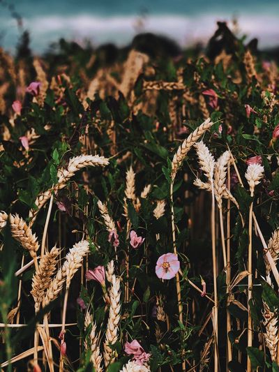 Close-up of wilted flowering plants on field
