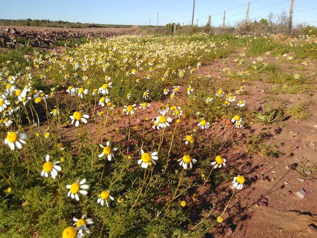 Roadside abundance of daisies. Flower Rural Scene Roadside Semi-arid Fynbos Namaqualand Daisies Daisies Daisy Flowers Yellow Flowers White Flower Field Fencepost Fence