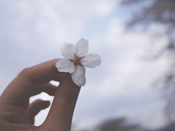 #cherryblossom Human Hand Hand Human Body Part Flower Flowering Plant Holding Plant First Eyeem Photo