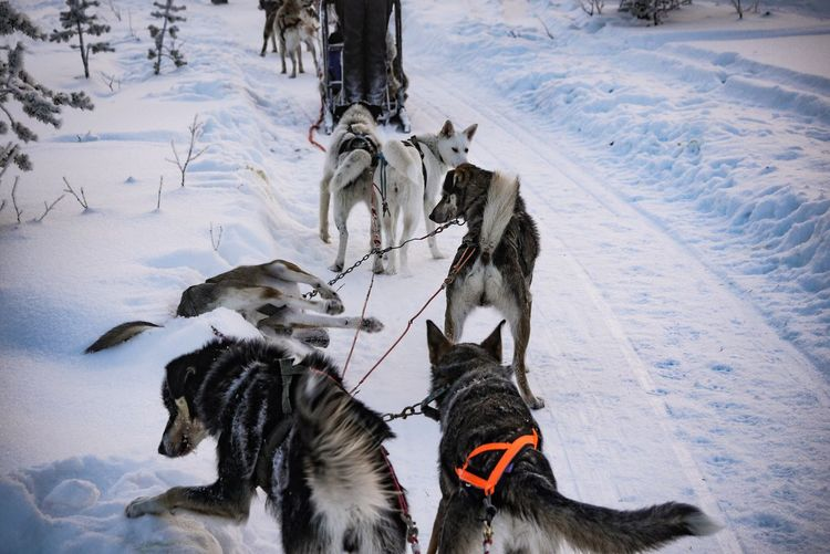 Dogsledding on snow covered landscape