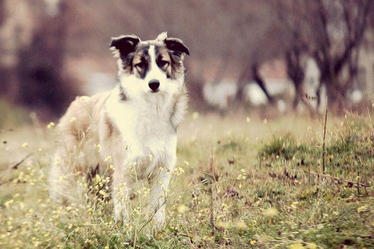 Bordercollie  Border Collie Dog Dogs Perro Perros  Perromolon