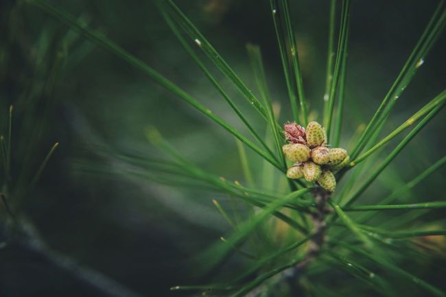 Baby Pine Cones   Green Pine Needles Spring Has Arrived Springtime Blurred Background Nature EyeEm Nature Lover Selective Focus Bokeh Background Nature Photography Close Up Dark Light Macro