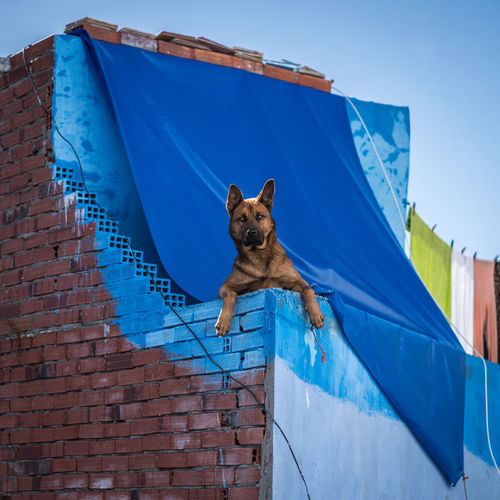 Blue One Animal Pets Mammal Domestic Domestic Animals Animal Themes Animal Dog Canine Architecture Built Structure Building Exterior No People Wall Low Angle View Day Wall - Building Feature Vertebrate Brick Wall Brick Outdoors
