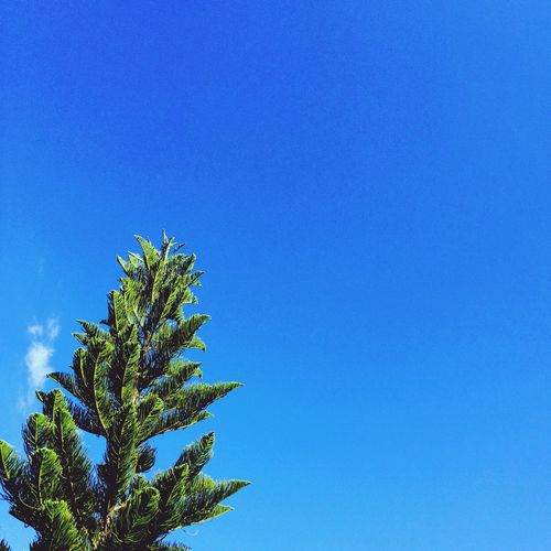 Blue Clear Sky Copy Space Growth Low Angle View No People Plant Day Nature Tree Palm Tree Beauty In Nature Outdoors Sky