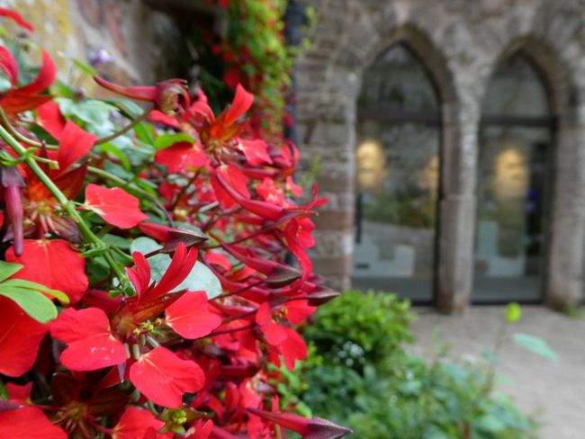 A flower dances flamenco whilst the castle watches through arched windows...! Tropaeolom Speciosum Flame Flower Scottish Flame Flower Lowther Castle Red Plant Leaf Flower Day No People Close-up Climbing Plant Architecture Focus On Foreground Arched Windows Exceptional Nature Light Through The Window Outdoors Beauty In Nature Colours That Dance For The Love Of Photography Botany Colourful Bright Red