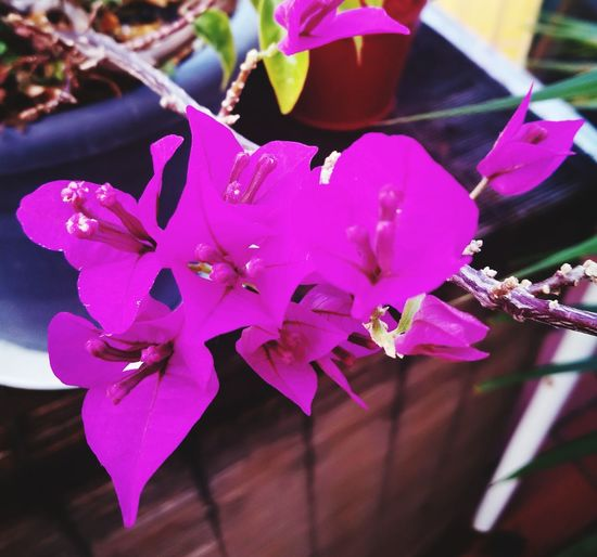 Flower Petal Purple Close-up Day Growth Flower Head Buganvílias Outdoors Beauty In Nature Lovly Photography Tardor/Autumn Huwaei Photography EyeEm Selects Huwei P9 Otoño 🍁 Autumn Home Interior Plant Barcelona, Spain