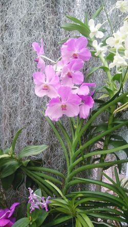 orchid -Wanda.