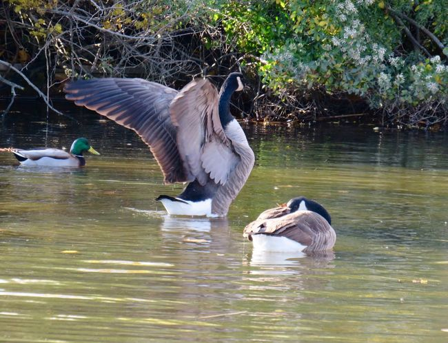 Canada goose wings spread on the water green color birds of EyeEm beauty in nature animal themes Water Bird No People